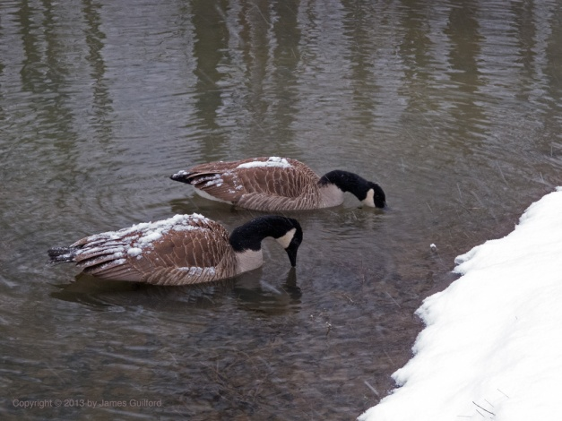 Photo: Canada Geese with snowy backs. Photo by James Guilford.