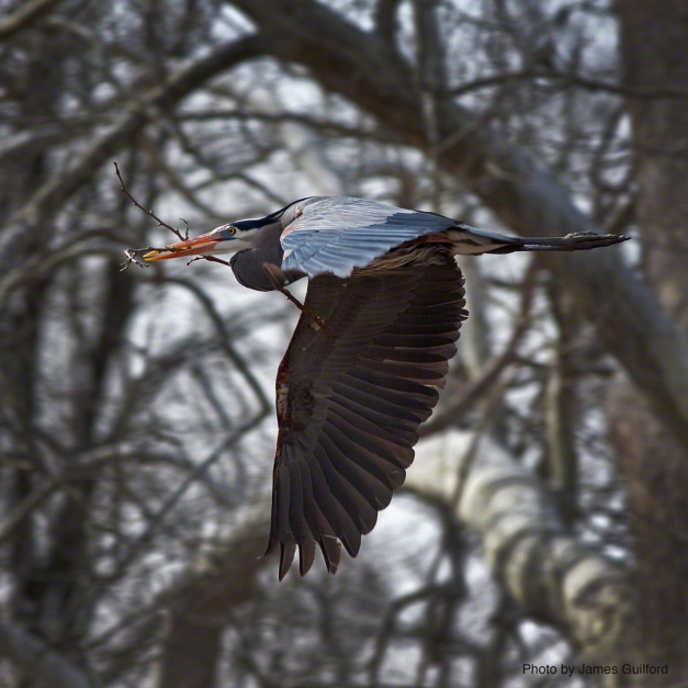 Photo: Great Blue Heron with trees in background. Photo by James Guilford.
