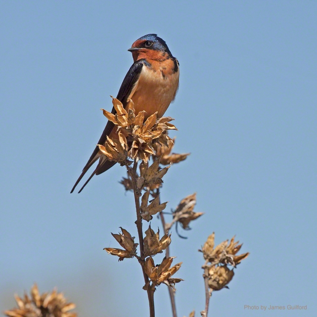 Photo: Barn Swallow. Photo by James Guilford.