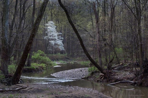 Photo: Tree in bloom over small stream in the woods. Photo by James Guilford.