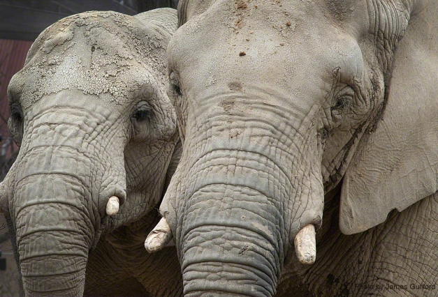 Photo: Two zoo elephants walk side-by-side. Photo by James Guilford.