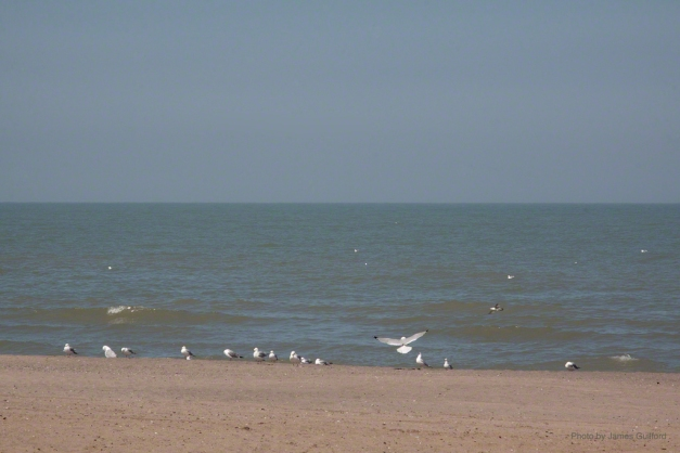 Photo: Group of gulls is joined by a latecomer on a Lake Erie beach. Photo by James Guilford.