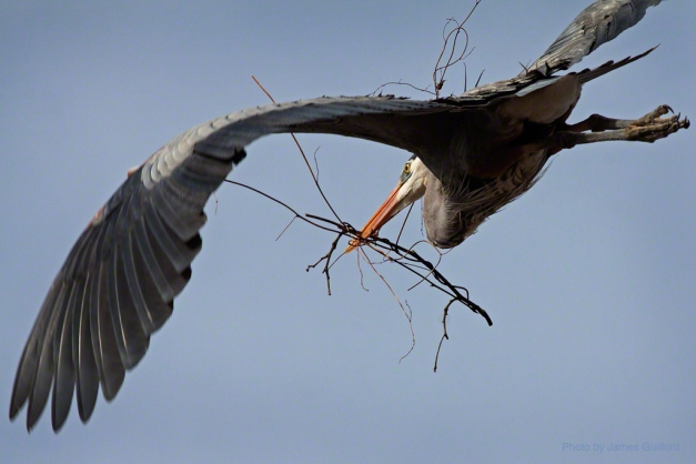 Photo: Great Blue Heron with twigs. Photo by James Guilford.