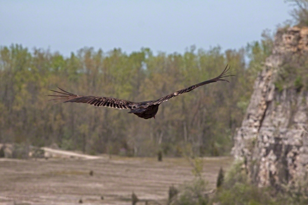 Photo: Buzzard near cliffs. Photo by James Guilford.