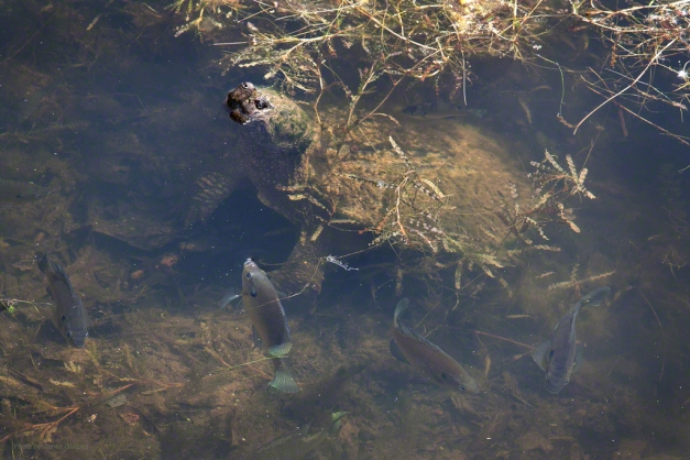 Photo: Sunfish swim around a large snapping turtle. Photo by James Guilford.