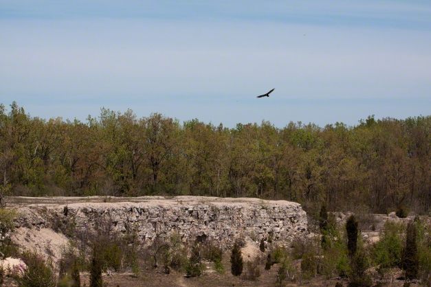 Photo: Buzzard soaring over cliff. Photo by James Guilford