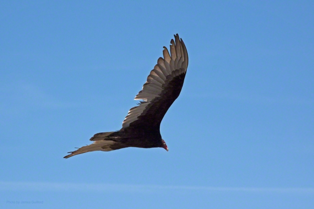Photo: Turkey Vulture against blue sky. Photo by James Guilford.
