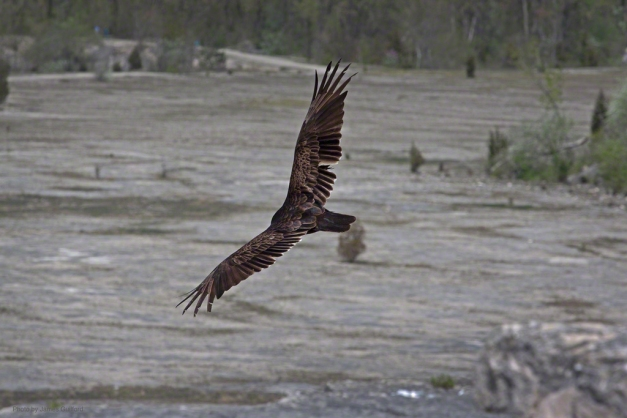 Photo: Vulture glides over quarry. Photo by James Guilford.