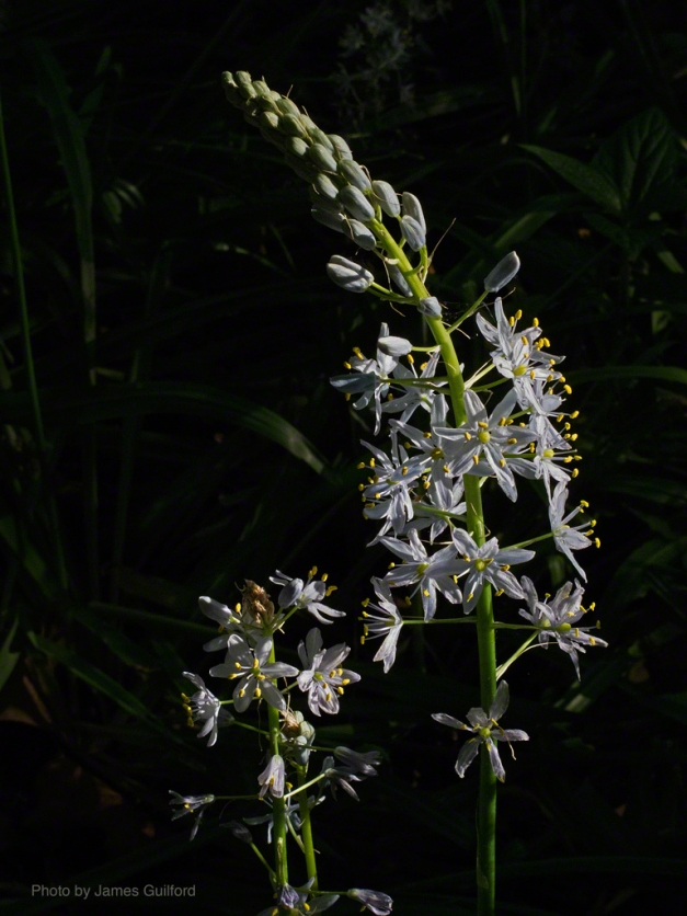 PHoto: A spike of Wild Hyacinth