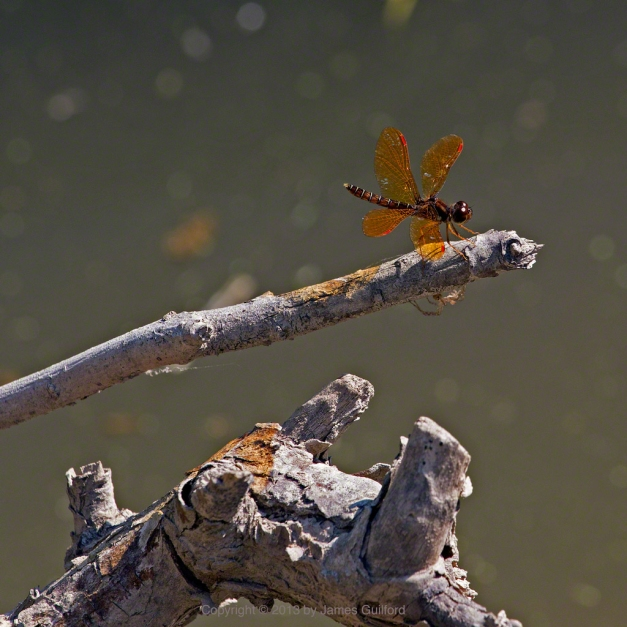 Photo: Eastern Amberwing Dragonfly. Photo © by James Guilford.