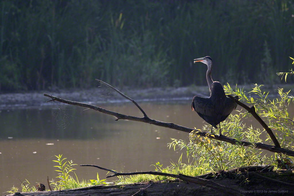 Photo: Great Blue Heron in morning sun. Photo © by James Guilford.