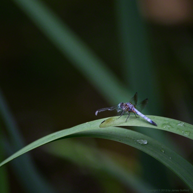 Photo: Dragonfly with damaged wing rests on a water plant. Photo by James Guilford.