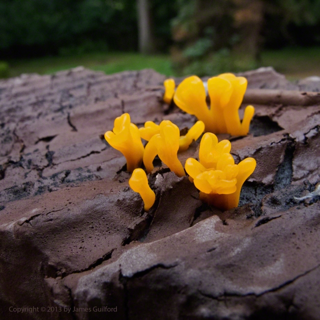 Photo: Tiny orange fungi on the top of a fence post. Photo by James Guilford.
