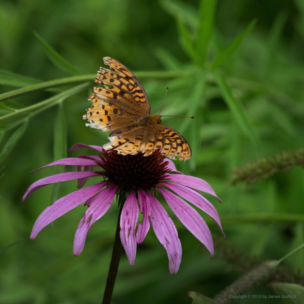 Photo: Tattered butterfly on a fading purple coneflower. Photo by James Guilford.