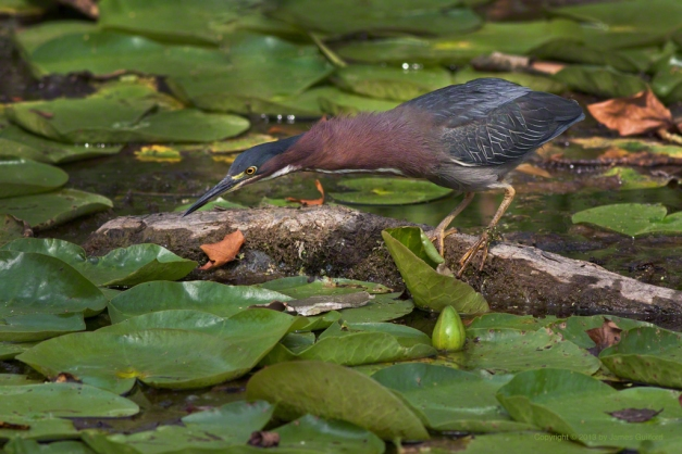 Photo: Green Heron stalking prey. by James Guilford.
