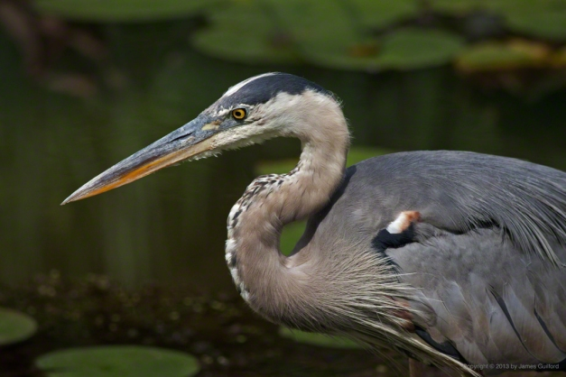 Photo: Great Blue Heron, by James Guilford.