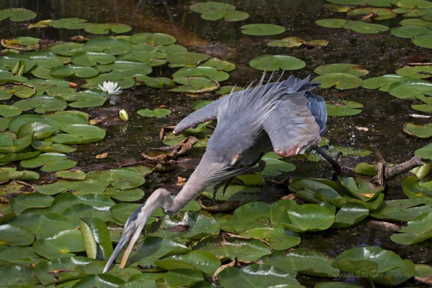 Photo: Great Blue Heron strikes to catch prey, by James Guilford.