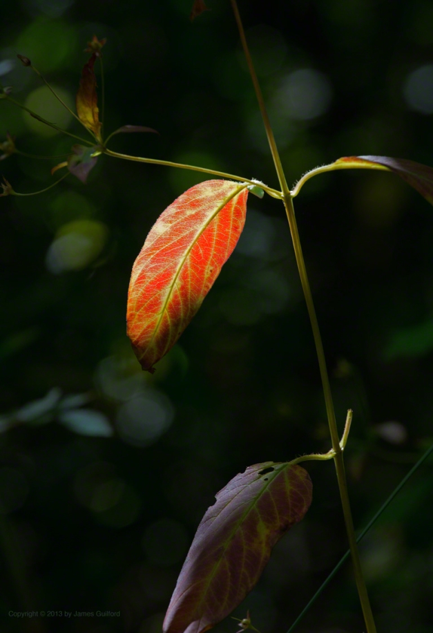Photo: Colorful leaf with dark background. Photo by James Guilford.