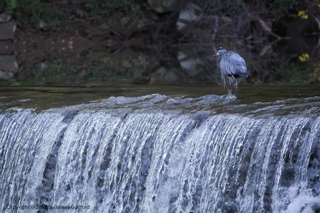 Photo: Great Blue Heron at the top of a waterfall. Photo by James Guilford.