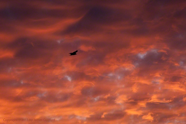 Photo: Vulture flies against fiery sky. Photo by James Guilford.