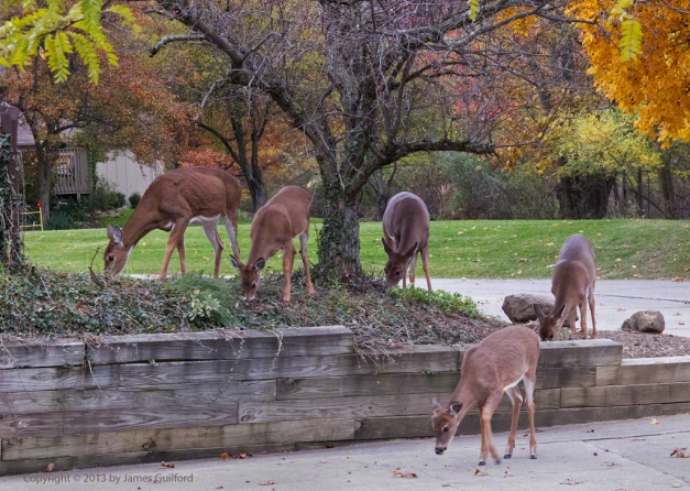 Photo: Group of Whitetail Deer grazing near a driveway. Photo by James Guilford.