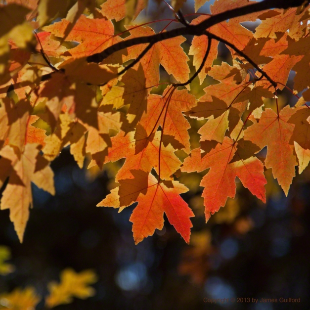 Photo: Brilliant autumn leaves. Photo by James Guilford.