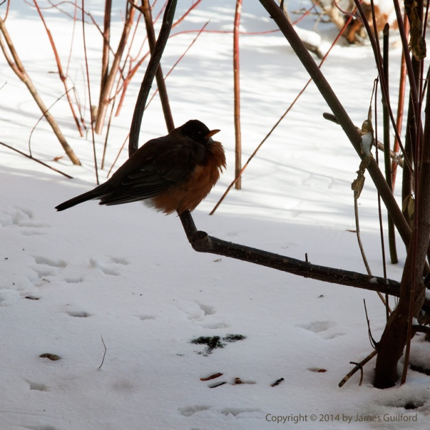 Photo: American Robin on a frigid winter's day. Photo by James Guilford.