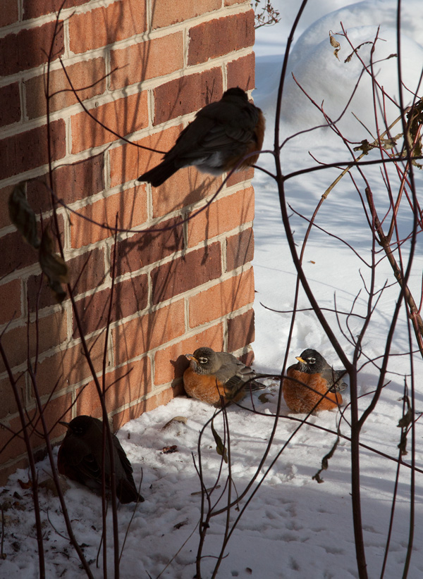 Photo: A group of American Robins sheltering against frigid winter temperatures. Photo by James Guilford.