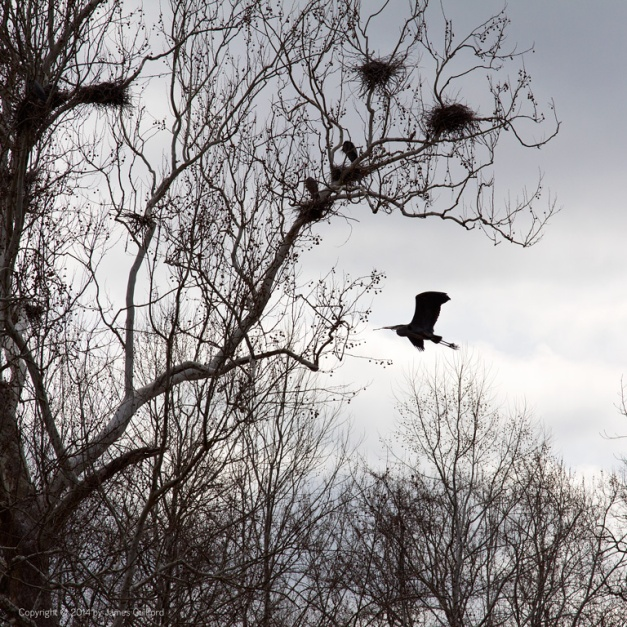 Photo: A Great Blue Heron in silhouette glides to a tree. Photo by James Guilford.