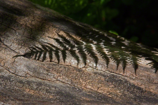 Photo: The shadow of a fresh fern rests upon the trunk of a fallen tree. Photo by James Guilford.