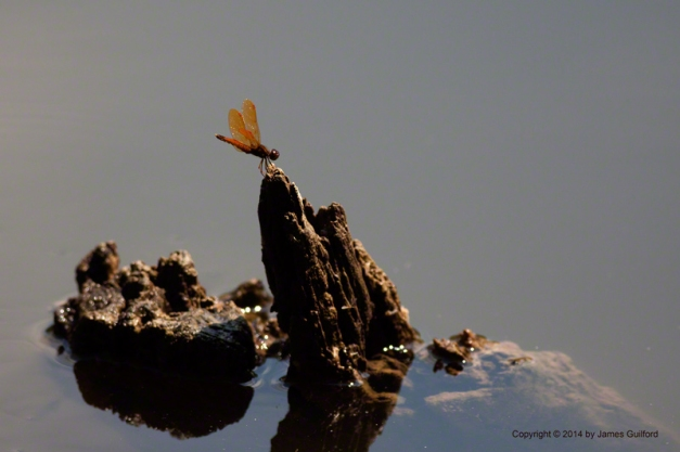 Photo: Eastern Amberwing dragonfly perched on sunken log. Photo by James Guilford.