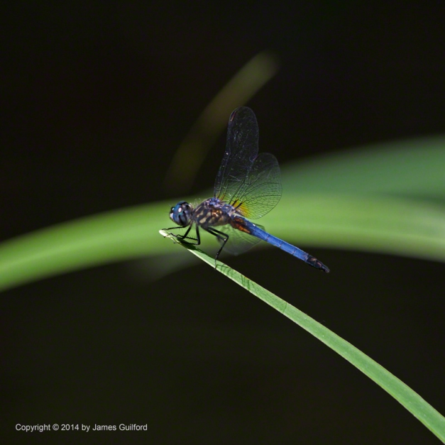 Photo: Dragonfly perched atop the green arch of a water plant leaf. Photo by James Guilford.