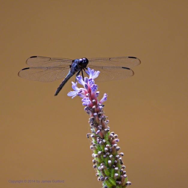Photo: Male Slaty Skimmer dragonfly. Photo by James Guilford.