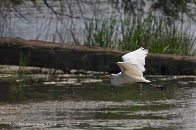Photo: Great Egret in flight over wetland. Photo by James Guilford.