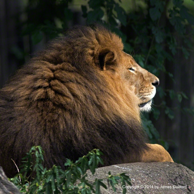 Photo: African lion resting on rock at Cleveland Metroparks Zoo.  Photo by James Guilford.