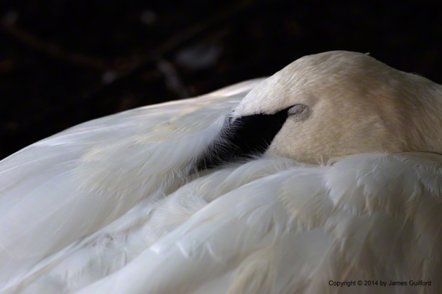 Photo: Sleeping Trumpeter Swan at Cleveland Metroparks Zoo. Photo by James Guilford.