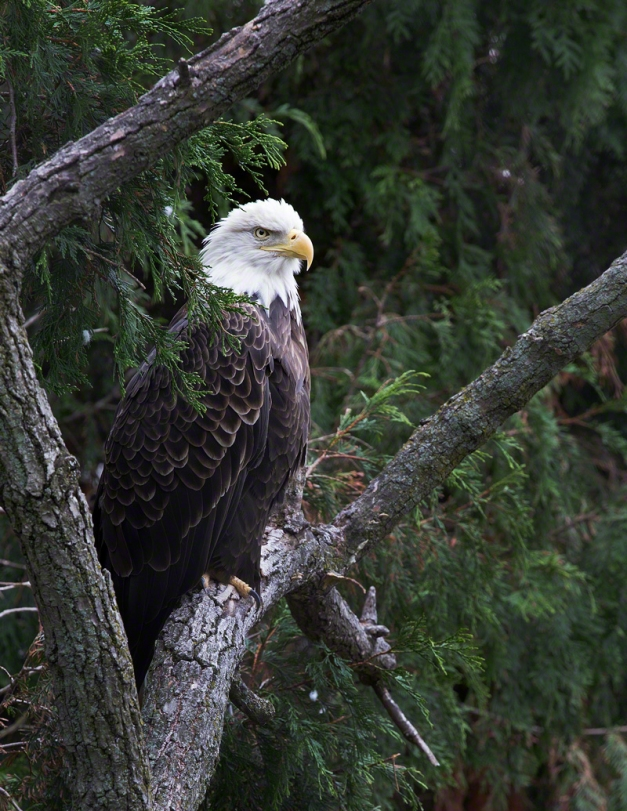 Photo: Bald Eagle perched on a tree branch. Photo by James Guilford.