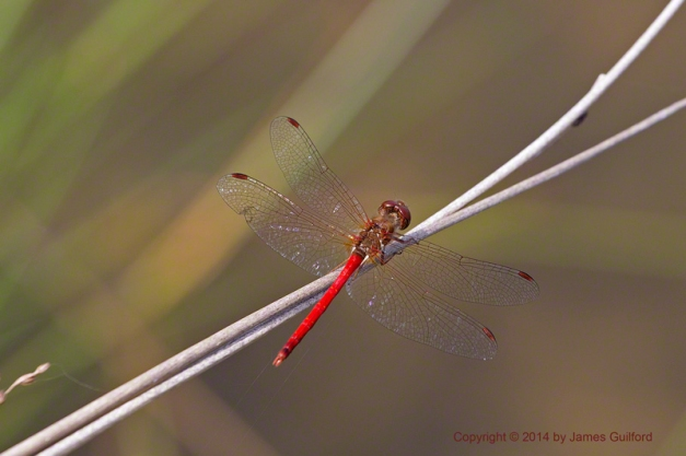 Photo: Yellow-Legged Meadowhawk dragonfly. Photo by James Guilford.