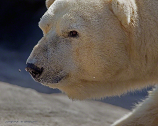Photo: Flies pester a Polar Bear at the Columbus (Ohio) Zoo. Photo by James Guilford.