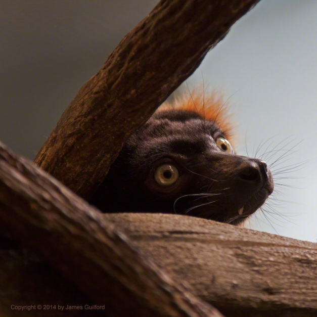 Red Ruffled Lemur at Akron Zoo. Photo by James Guilford.
