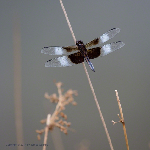 Photo: Widow Skimmer dragonfly. Photo by James Guilford.