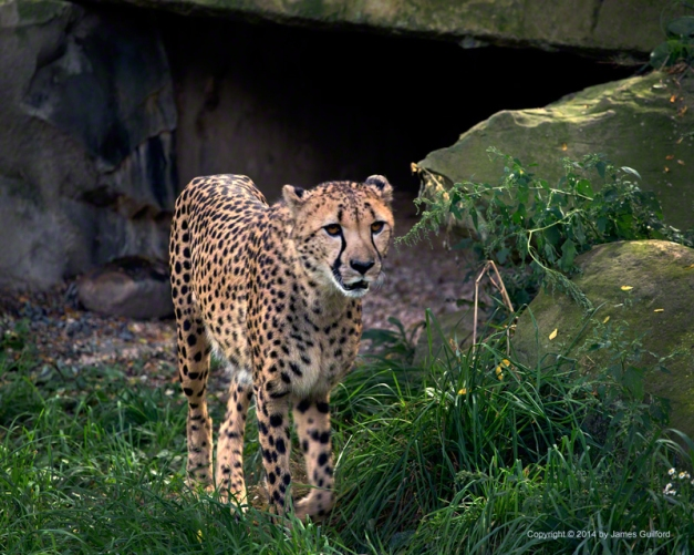 Photo: Cheetah at Cleveland Metroparks Zoo. Photo by James Guilford.