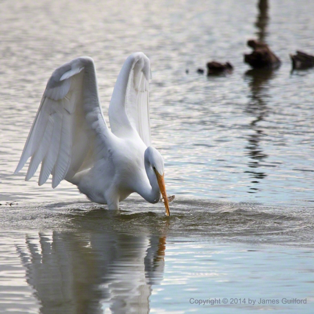 Photo: Great Egret Catches Small Fish. Photo by James Guilford.