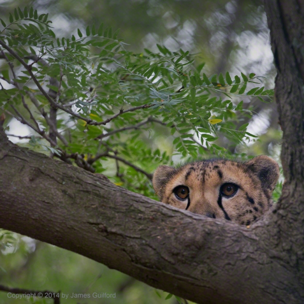 Photo: Cheetah watching people from tree. Photo by James Guilford.