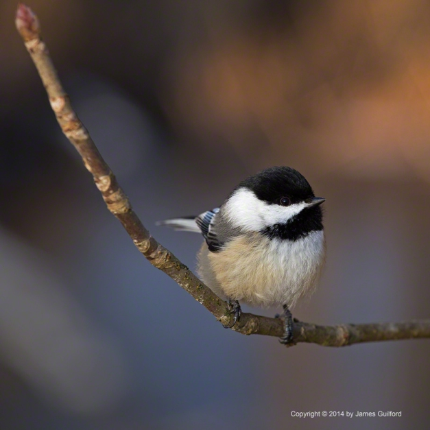 Photo: A Chickadee poses, expecting a handout. Photo by James Guilford.