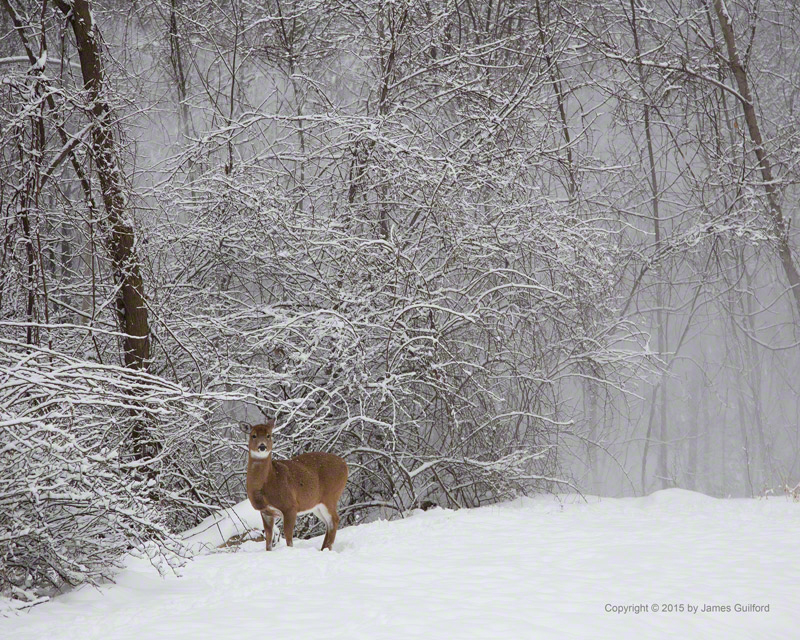 Photo: A deer watches as snow falls from trees behind her. Photo by James Guilford.