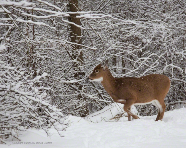 Photo: Whitetail deer begins her move into the brush. Photo by James Guilford.