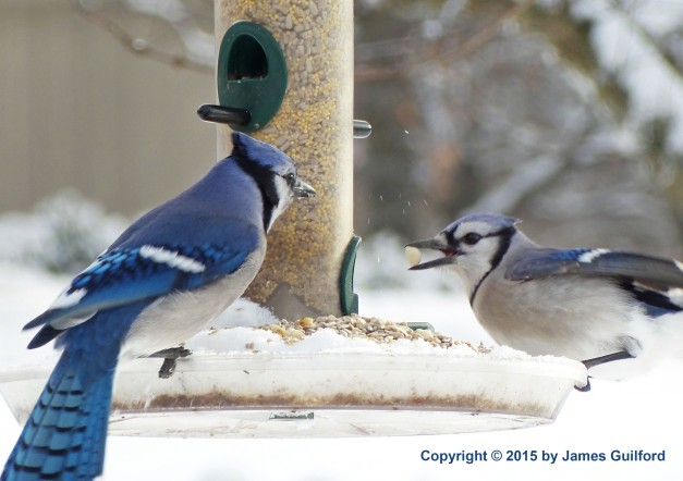Photo: Blue Jays on Feeder. Photo by James Guilford.