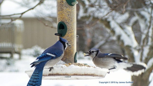 Photo: Blue Jays Feeding. Photo by James Guilford.