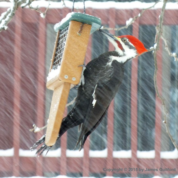 Photo: Pileated Woodpecker.  Photo by James Guilford.